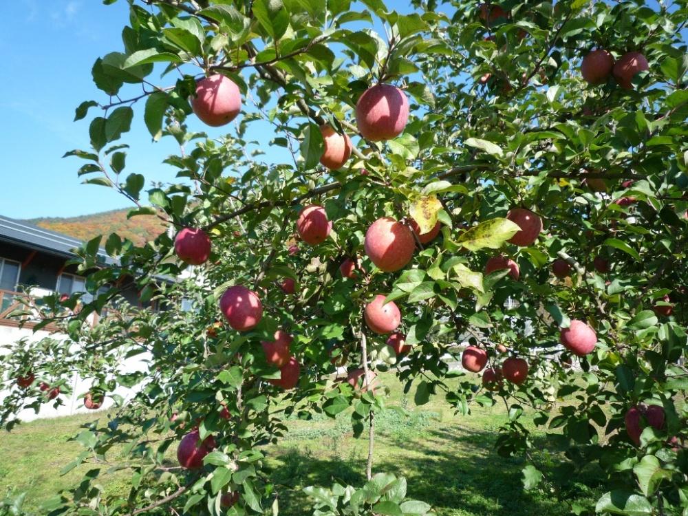りんごが美味しくなって来たヨ☆