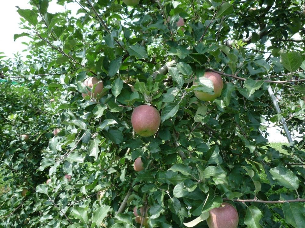 りんご、11月かな?