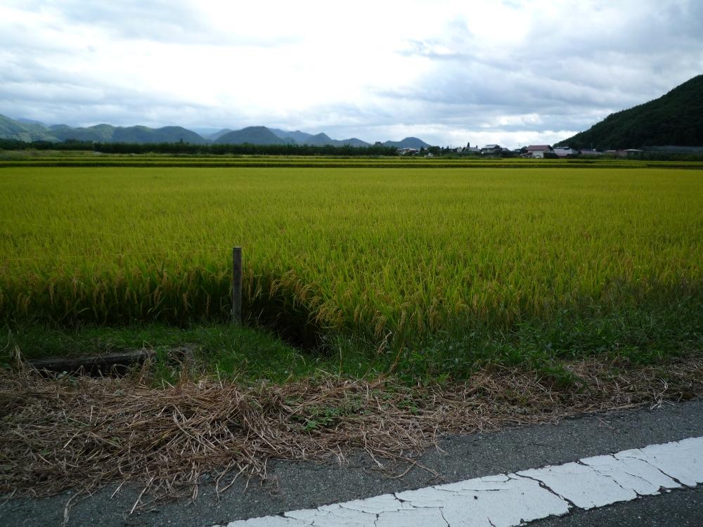 稲も黄金色になりつつあります
