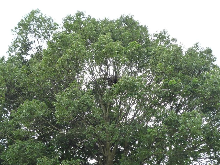 木々の間に、カラスの巣があるね