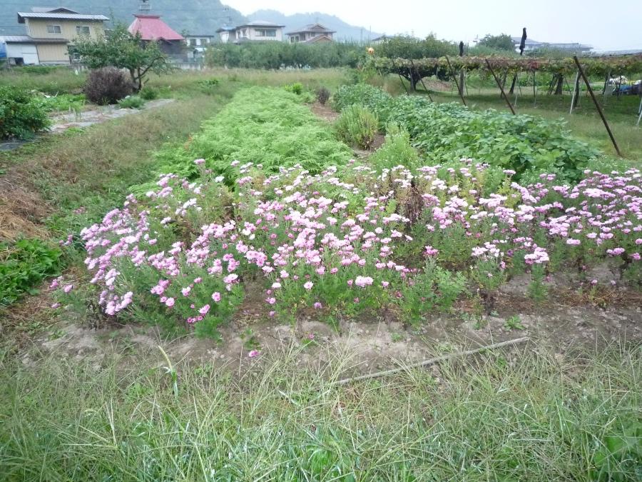 ピンクの食用菊ネ!
