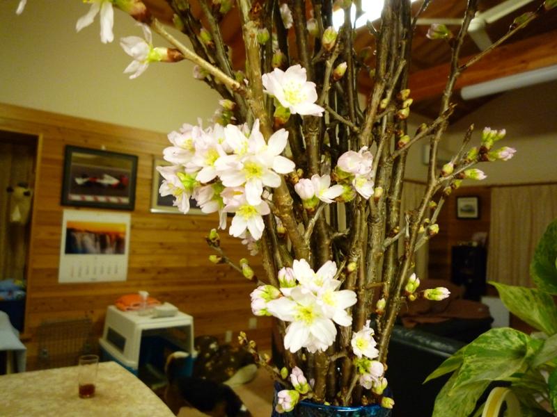 慶翁桜だよ