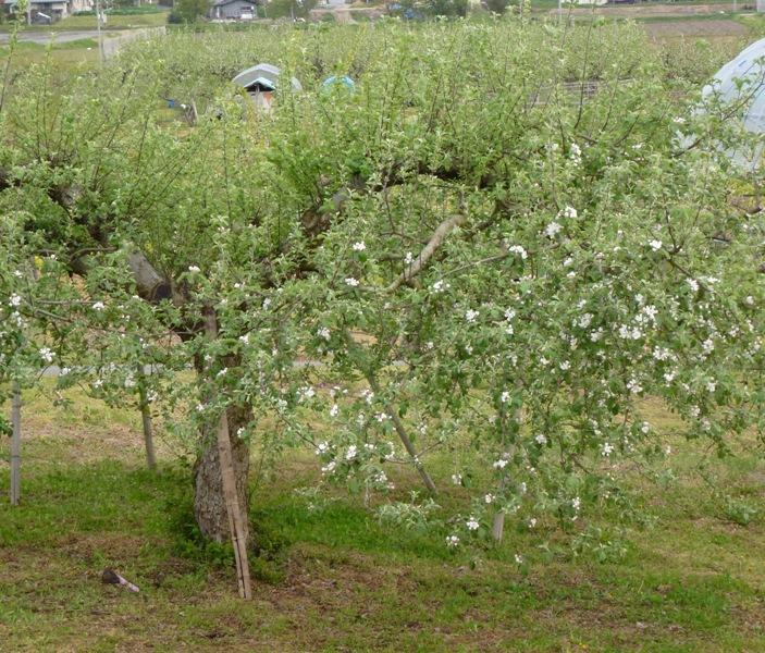 リンゴの花も咲いて来た♪